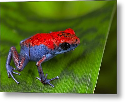 poison dart frog Escudo Metal Print by Dirk Ercken