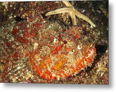 Poisonous Stone Fish, Scorpaena Mystes Metal Print by James Forte