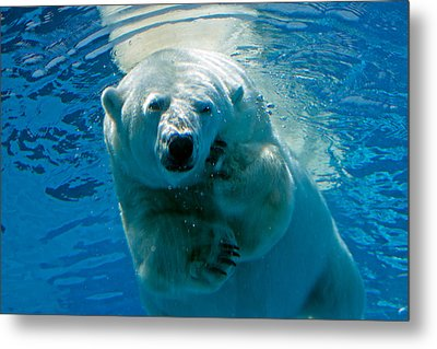 Metal Print featuring the photograph Polar Bear Contemplating Dinner by John Haldane