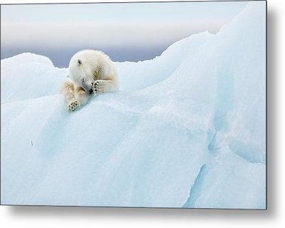 Polar Bear Grooming Metal Print by Joan Gil Raga