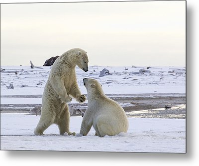 Polar Bear Play-fighting Metal Print