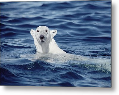 Polar Bear Swimming Baffin Island Canada Metal Print