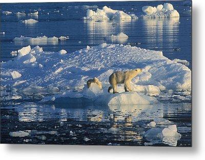Polar Bear Ursus Maritimus Adult Metal Print by Rinie Van Meurs