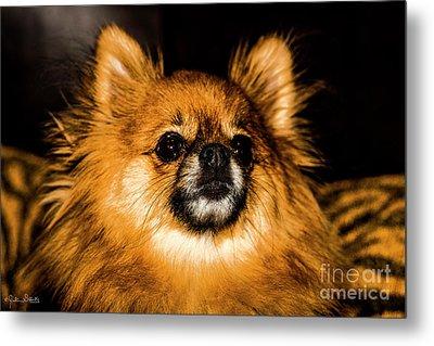 Pomeranian Chihuahua Mix #1 Metal Print