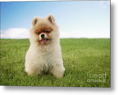 Pomeranian Puppy On Grass Metal Print by Brandon Tabiolo - Printscapes