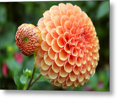 Metal Print featuring the photograph Pompom by Margaret Hormann Bfa