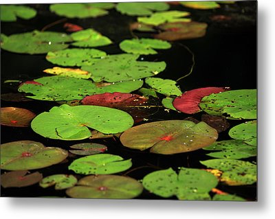 Pond Pads Metal Print by Karol Livote