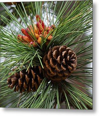 Ponderosa Pine Cones Metal Print by Karon Melillo DeVega