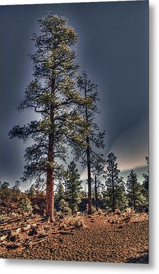 Ponderosa Pines At The Bonito Lava Flow Metal Print