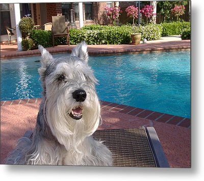 Pooch At Poolside Metal Print by Diane Ferguson
