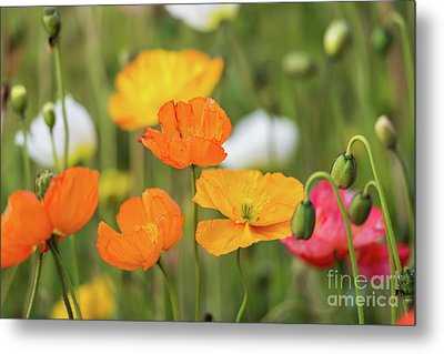 Metal Print featuring the photograph  Poppies 1 by Werner Padarin