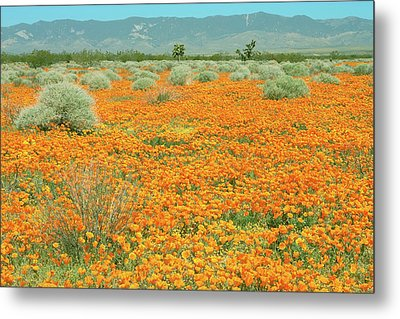 Metal Print featuring the photograph Poppies For Ever - Poppy Fields Mohave Desert California by Ram Vasudev