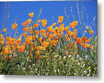 Metal Print featuring the photograph Poppies From Below by Cliff Wassmann