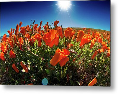 Metal Print featuring the photograph Poppies by Harry Spitz