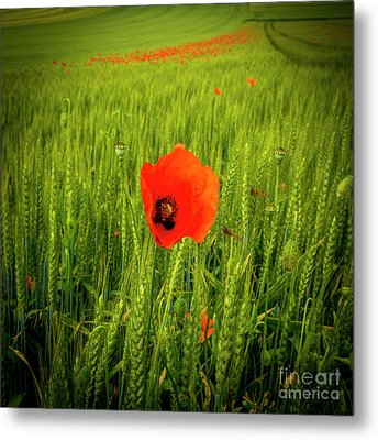 Poppies In A Field Of Wheat. Auvergne. France Metal Print by Bernard Jaubert