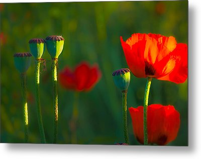 Poppies In Evening Light Metal Print by Joan Herwig