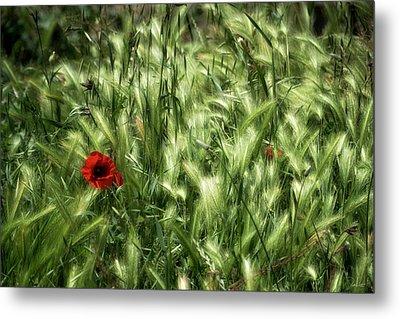 Poppies In Wheat Metal Print by Raffaella Lunelli