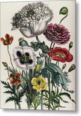 Poppies Metal Print by Jane Loudon