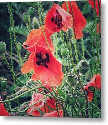 Poppies Metal Print by Karen Stahlros