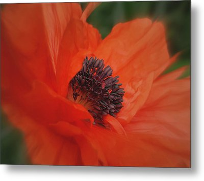 Poppy Love Metal Print by Martin Morehead