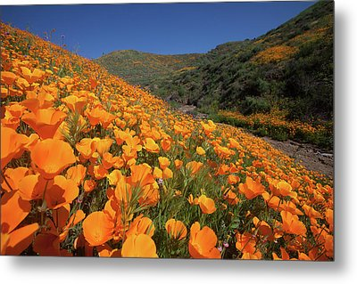 Metal Print featuring the photograph Poppy Superbloom by Cliff Wassmann
