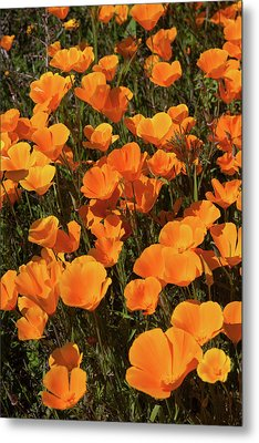 Metal Print featuring the photograph Poppy Superbloom Close Up by Cliff Wassmann