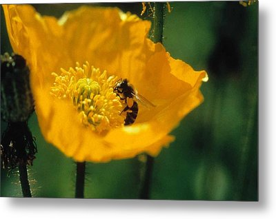 Poppy With Bee Friend Metal Print by Laurie Paci
