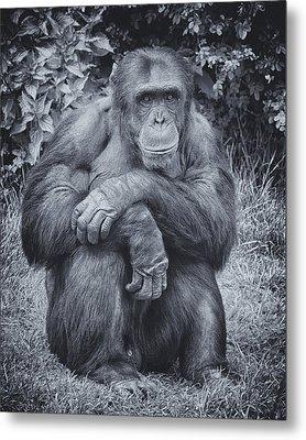 Portrait Of A Chimp Metal Print by Chris Boulton