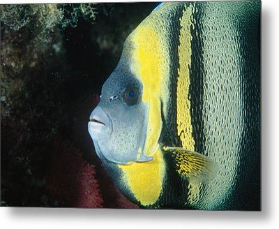Portrait Of A Cortez Angelfish Metal Print by James Forte