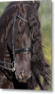Portrait Of A Friesian Metal Print by Wes and Dotty Weber