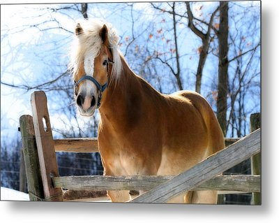Portrait Of A Haflinger - Niko In Winter Metal Print by Angela Rath