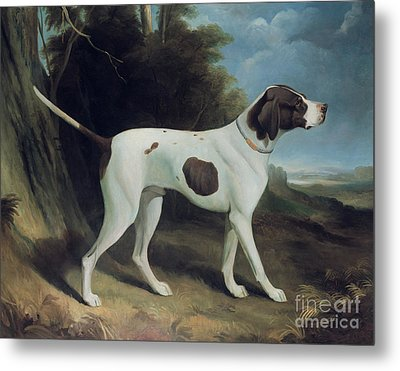 Portrait Of A Liver And White Pointer Metal Print
