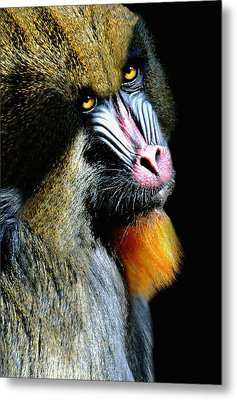 Portrait Of A Mandrill Metal Print by Diana Angstadt