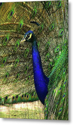 Metal Print featuring the photograph Portrait Of A Peacock by Jessica Brawley