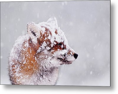 Portrait Of A Red Fox In A Blizzard Metal Print