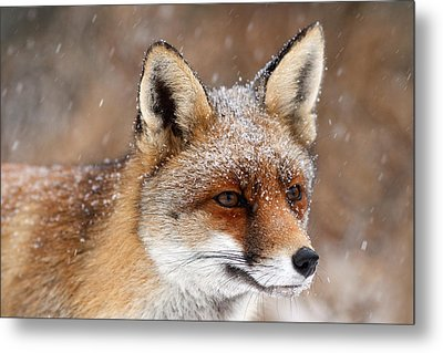 Portrait Of A Red Fox In A Snow Storm Metal Print