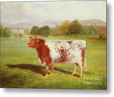 Portrait Of A Shorthorn Metal Print by William Joseph Shayer