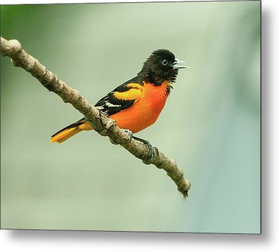 Portrait Of A Singing Baltimore Oriole Metal Print by Joni Eskridge