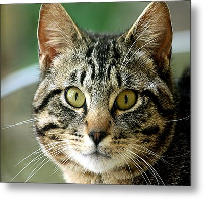 Portrait Of A Tabby Cat Metal Print