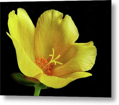 Metal Print featuring the photograph Portrait Of A Yellow Purslane Flower by David and Carol Kelly