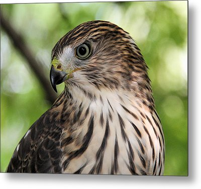 Portrait Of A Young Cooper's Hawk Metal Print