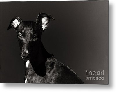 Portrait Of An Italian Greyhound In Black And White Metal Print