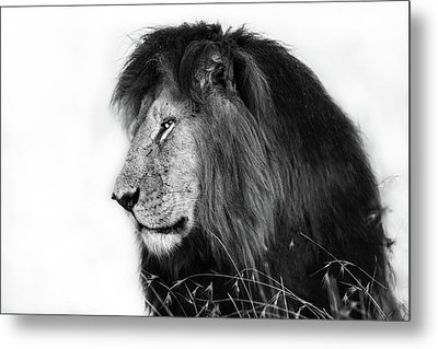 Portrait Of Lion Notch In Masai Mara, Kenya Metal Print by Maggy Meyer