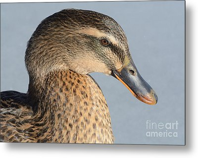 Portrait Of Rouen-mallard Mixed Breed Duck Hen Metal Print by Merrimon Crawford