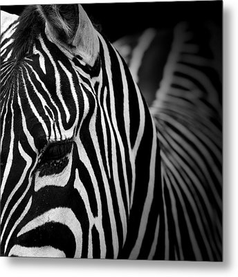 Portrait Of Zebra In Black And White V Metal Print by Lukas Holas