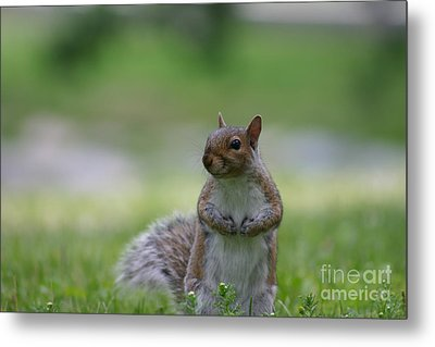 Metal Print featuring the photograph Posing Squirrel 2 by David Bishop