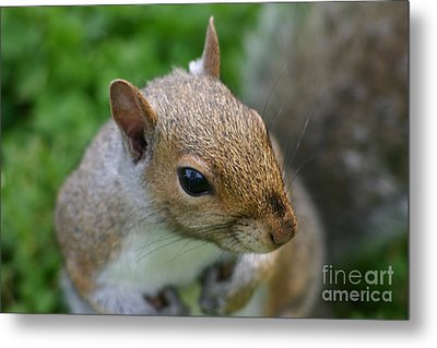 Metal Print featuring the photograph Posing Squirrel 3 by David Bishop