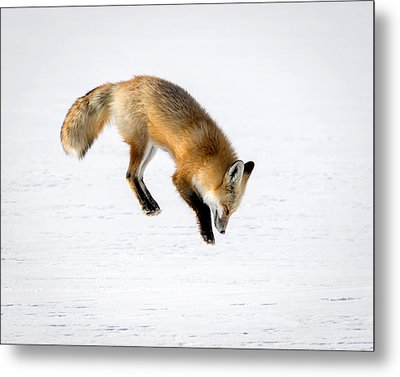 Pounce Metal Print by Jack Bell