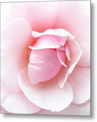 Powder Puff Rose Metal Print by Florene Welebny