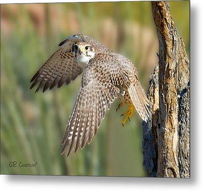 Prairie Falcon Taking Flight Metal Print by CR  Courson
